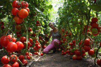 Потрясающий бальзам для помидор 1
